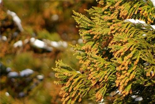 杉の木花粉